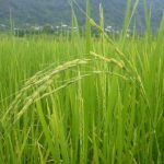 خوشه برنج
