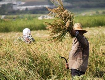 برنج  کشاورز