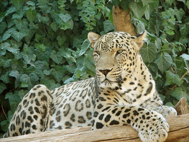 800px-Persian_Leopard_sitting