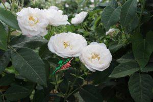 گل محمدی+ گلاب