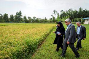 استاندار در شالیزار برنج