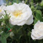 IMG_7993 (1)گل محمدی