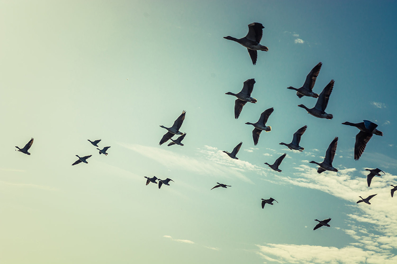 Large group of flying geese