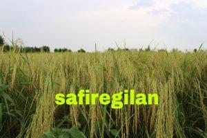 شالیزار ،برنج