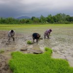 نشا ء کشاورزی