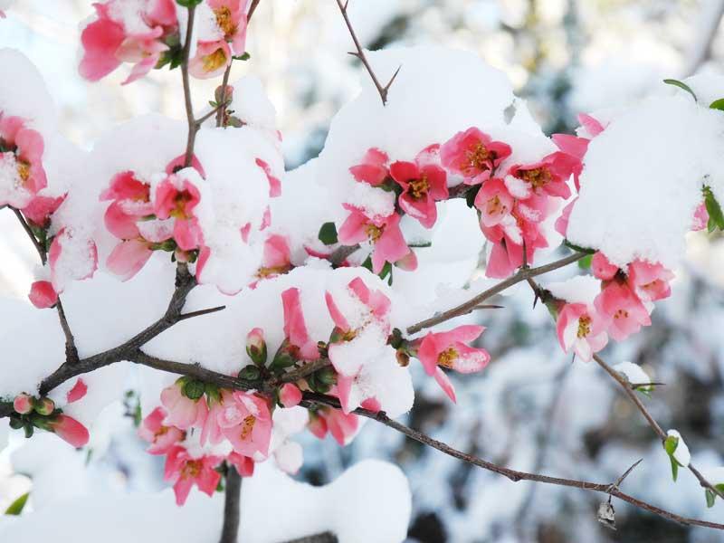 برف شکوفه