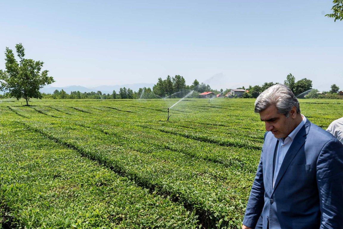 رونق چشمگیر صنعت چای داخلی با اقدامات حمایتی دولت تدبیر و امید رقم خورد/پرداخت ۸۵ درصدی هزینه تجهیز سیستم آبیاری نوین باغات چای به شکل بلاعوض از طرف دولت