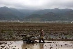 شخم زمستانه در بیش از ۸۷۵۰ هکتار از شالیزارهای فومن /توزیع۲۱ تن بذر اصلاح شده هاشمی بین کشاورزان فومنی