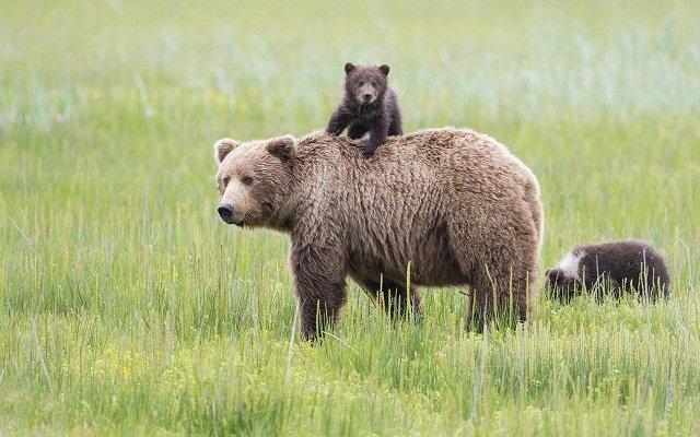 رؤیت یک قلاده خرس قهوه ای و توله هایش در مناطق حفاظت شده شفت