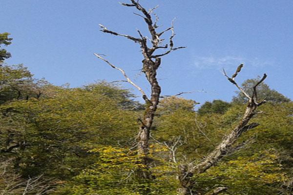 آفت گونه های ارزشمند شاه بلوط ، شمشاد و چنارهای شفت را تهدید می کند/حفاظت از جنگل های انبوه شفت نیازمند مشارکت دستگاههای متولی و مردمی است