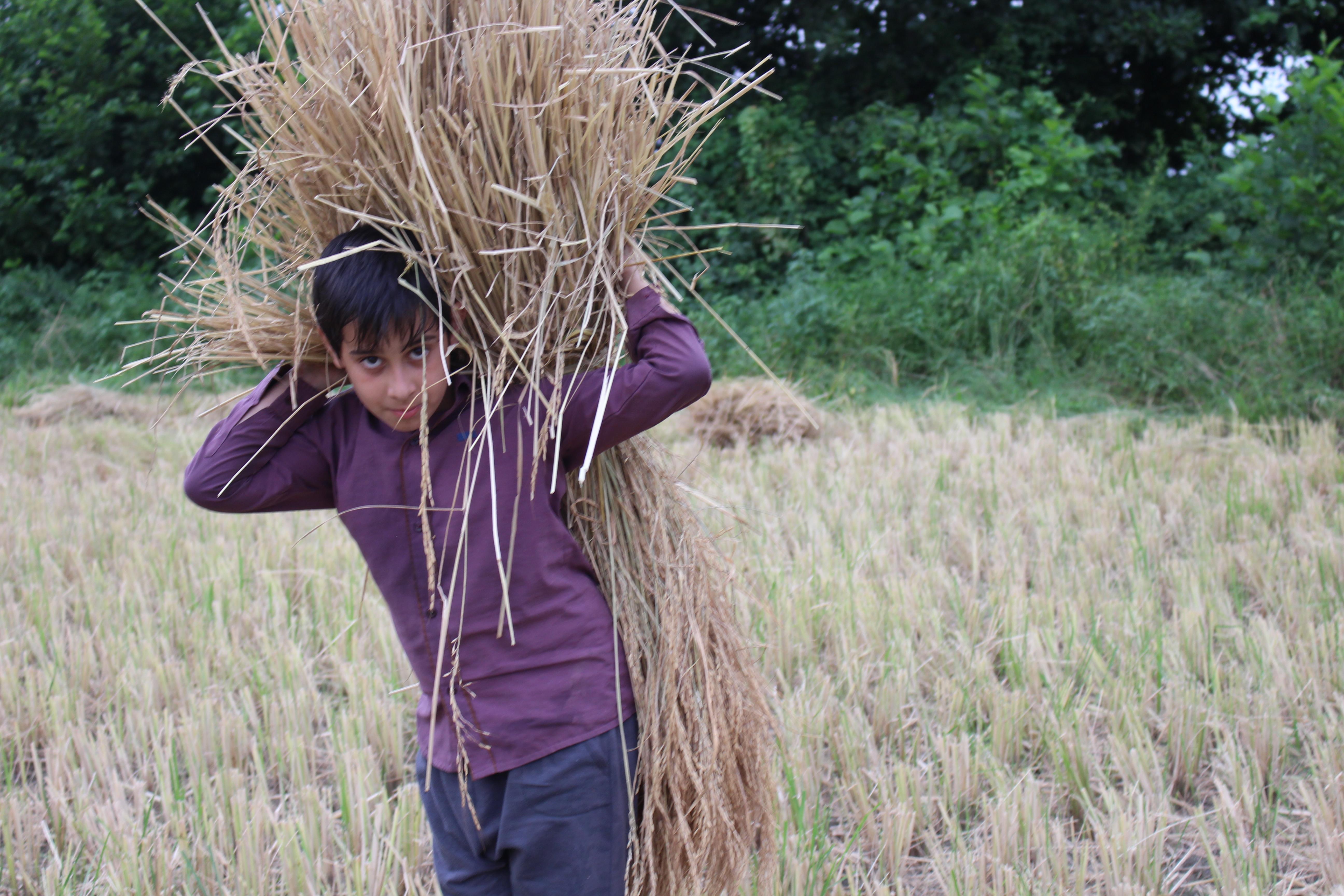 برداشت ۴ هزار هکتار از مزارع برنج گیلان/افزایش بیش از۲۵هزار تن برنج کیفی با بهسازی شالیکوبیها
