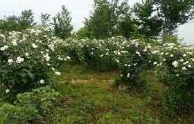 کارآفرینی با عطر و بوی گل و گلاب