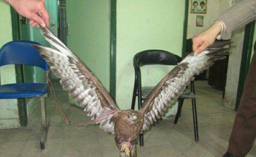 عقاب شکاری مرد ۳۲ ساله شفتی را تحویل قانون داد