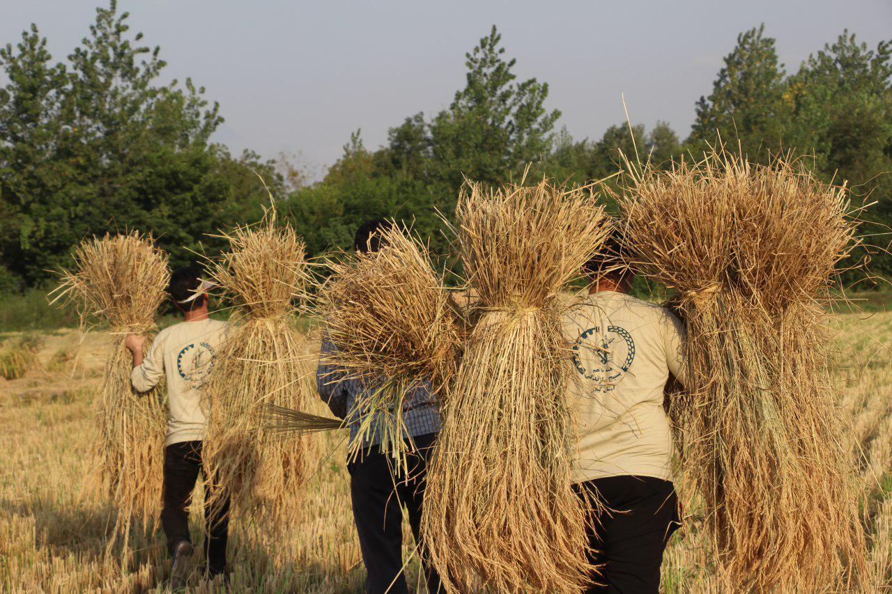 گروه جهادی شهید حججی متشکل از ۵۰ جهادگر  در شالیزارهای روستاهای فومن برای کمک به کشاورزان  رفتند